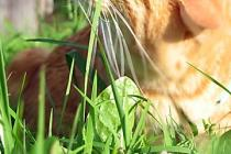 котята на продажу курильский бобтейл домашняя рысь