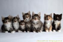 продажа котят курильский бобтейл вязка кошек фото