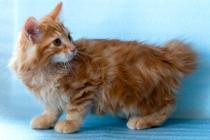 """Помет №84 """"К"""" 16.05.14. 5 котят. Красный барон."""