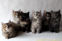"""Litter №68 """"Ch"""" 21.08.13. 6 kittens."""