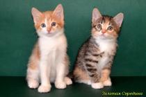 """Помет № 74 """"Х"""" от 26.11.13.  4 котенка."""