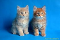 """Помет № 131 """"Я"""" от 03.06.16. 6 котят"""