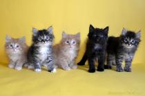 """Помет № 133 """"Б"""" от 30.06.16. 5 котят"""