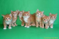 """Помет № 134 """"В"""" от 21.07.16. 7 котят"""