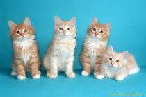 """Помет № 135 """"Г"""" от 23.07.16. 7 котят"""