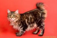 Кошка Ch. Уника Д'Аморе Золотая Середина, 29.04.19 г.р., окрас: черный мраморный ПДШ, n 22 KBL.
