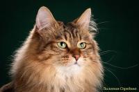 Кошка Ch. Загляденье Стасенька Золотая Середина, 12.05.18 г.р., окрас: черный пятнистый ПДШ, n 24.