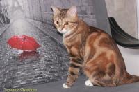Кошка Джесси из Элит Хаус, 22.08.17 г.р., окрас: черепаховый золотой мраморный с белым КШ, fy09 22 KBS.