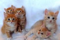 продажа котят курильский бобтейл цена вязка кошек фото