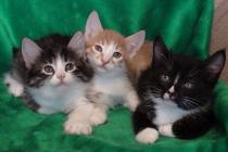 Курильский бобтейл коты кошки котята на продажу