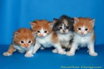 kurilian bobtail slh sh cattery sale kittens litter cat