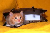 kurilian bobtail slh sh cattery sale kittens cats