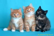 """Помет № 117 """"С"""" от 11.11.15. 3 котенка"""