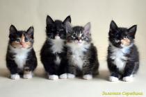 Помет № 69 от 07.10.13. 4 котенка.