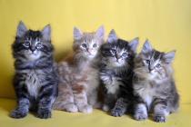 """Помет № 126 """"П"""" от 01.04.16. 4 котенка"""