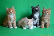 """Помет № 127 """"Т"""" от 07.04.16. 4 котенка"""