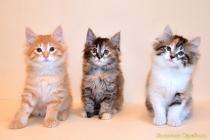 """Помет № 132 """"А"""" от 21.06.16. 3 котенка"""